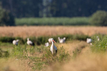 Group of White Stork (Ciconia ciconia) in meadow with single one in front, Podlaskie Voivodeship, Poland, Europe Reklamní fotografie