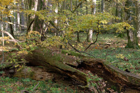 Lying old dead tree in autumn among juvenile deciduous hornbeams partly declined, Bialowieza Forest, Poland, Europe