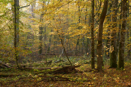 Hornbeam trees and broken supruce lying behind in sunrise light, Bialowieza Forest, Poland, Europe Reklamní fotografie