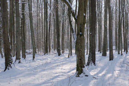 Snowfall after deciduous stand in morning with snow wrapped trees, Bialowieza Forest, Poland, Europe Reklamní fotografie