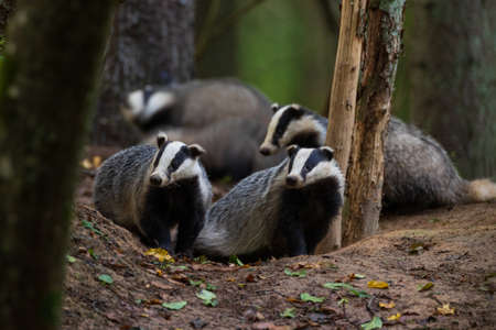 European Badger couple (Meles meles) in fall evening next to his burrow, Bialowieza forest, Poland, Europe