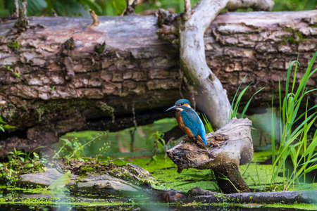Common Kingfisher (Alcedo atthis) next to lying stump across stream, Bialowieza forest, Poland, Europe Reklamní fotografie
