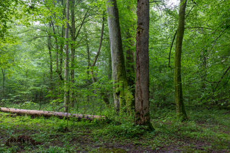 Natural deciduous tree stand with old maple trees and hornbeam around, Bialowieza Forest, Poland, Europe