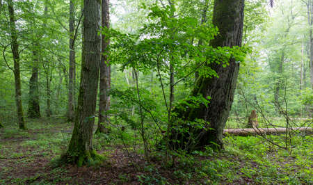 Natural deciduous tree stand with old lindwn trees and hornbeam around, Bialowieza Forest, Poland, Europe