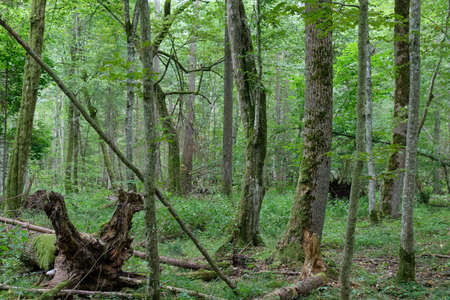 Old Alder tree and old hornbeam trees in background in summertime deciduous tree stand, Bialowieza Forest, Poland, Europe Reklamní fotografie
