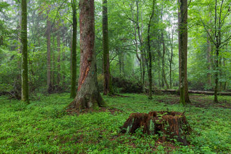 Natural deciduous tree stand with old spruce trees in background and juvenile hornbeams around, Bialowieza Forest, Poland, Europe