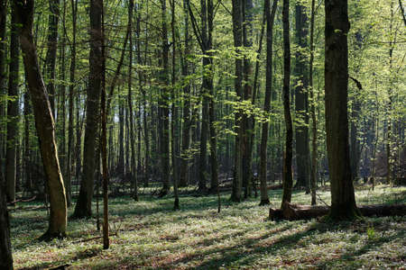 Oak and hornbeam tree deciduous forest in spring, Bialowieza Forest, Poland, Europe Reklamní fotografie