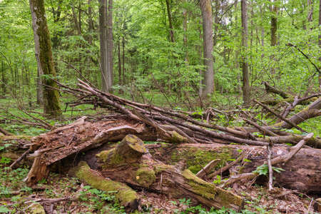 Rich deciduous stand in spring with broken oak tree in foreground, Bialowieza Forest, Poland, Europe