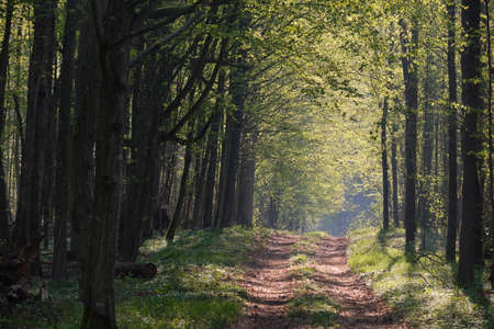 Ground road crossing fresh green springtime forest in surise, Bialowieza Forest, Poland, Europe