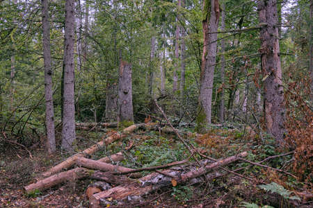Autumnal mixed primeval stand with old spruce trees in background, Bialowieza Forest, Poland, Europe Reklamní fotografie