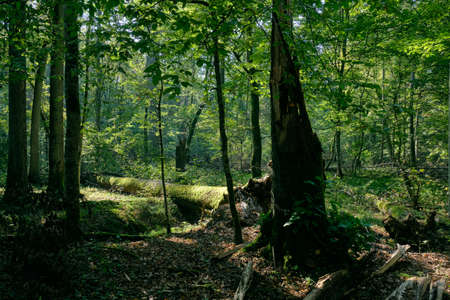 Shady deciduous tree stand with broken ash tree in foreground, Bialowieza Forest, Poland, Europe Reklamní fotografie