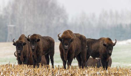 European Bison herd resting in snowfall with old bulls in foreground, Podlaskie Voivodeship, Poland, Europe