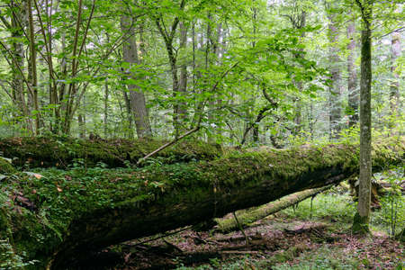 Deciduous stand with two broken oak trees lying side by side in summer, Bialowieza Forest, Poland, Europe