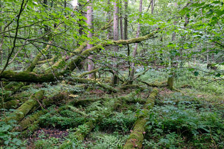Deciduous stand with broken oak branches lying around, Bialowieza Forest, Poland, Europe