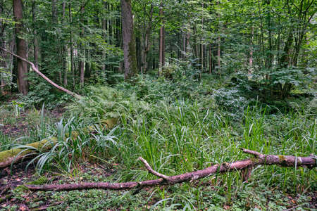 Alder tree deciduous stand in summer with sweet flag and ferns in foreground, Bialowieza Forest, Poland, Europe