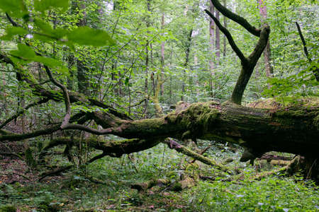 Dead two oaks lying side by side moss wrapped among deciduous trees in summer, Bialowieza Forest, Poland, Europe