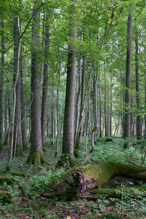 Alder tree deciduous stand in summer with dead ash tree in foreground, Bialowieza Forest, Poland, Europe