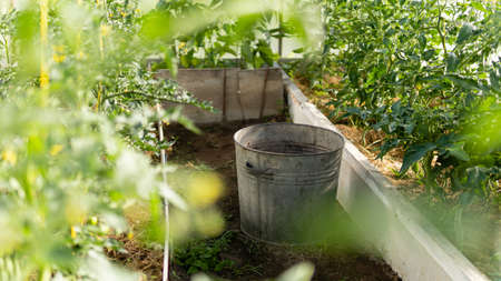 greenhouse with green flowering tomatoes and peppers and standing metal bucket