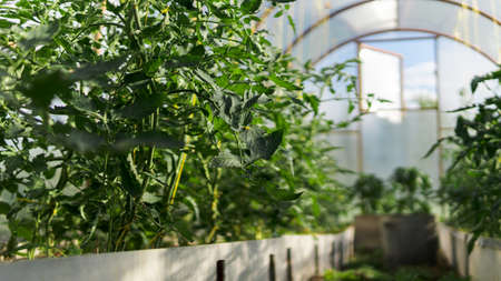 greenhouse with green flowering tomatoes and peppers Stockfoto