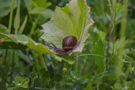 Snail crawling on a leaf closeup