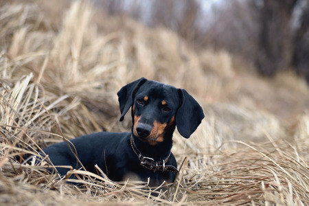 Black dachshund dog on the background of the old gray grass looks ahead