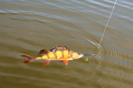 perch, fish with bait vortu on a hook on a fishing line sunshine glint, bright coloring Archivio Fotografico