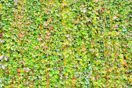wall overgrown with climbing plant, wall texture of colorful leaves for design backgrounds and eco backgrounds and carvings for artwork Stock Photo