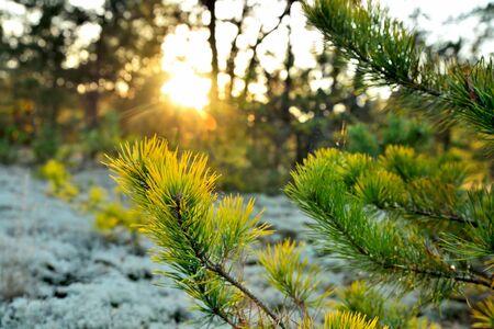 pine branch, sun rays, evening sun, forest trees, bluer, summer beautiful tinted, close-up Standard-Bild