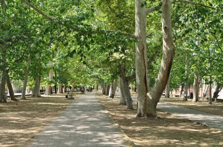 sycamore: Alley with sycamore on a street in Feodosia. Stock Photo