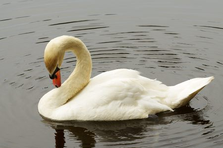 anima: Swan slowly swimming in the lake.He preens its feathers.