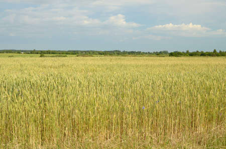 matures: Is warm Sunny day.On the field grows and Matures rye. Stock Photo