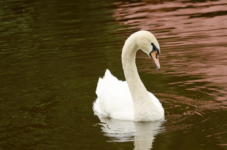 Swan is an elegant bird.It floats on the water in the lake. Imagens