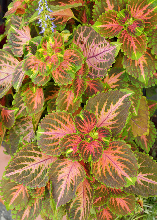 ornamental plant: Beautiful ornamental plant with variegated leaves on the windowsill Stock Photo