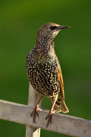looked: The Starling sat on the fence and looked around. Stock Photo
