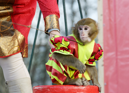 A trained monkey performs various stunts before the audience.