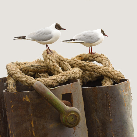 inhabits: White-winged gull inhabits the sea and eats fish. Stock Photo