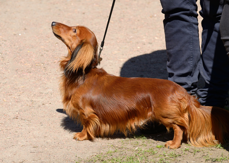 the dachshund is a hunting dog this breed of dog is very popular