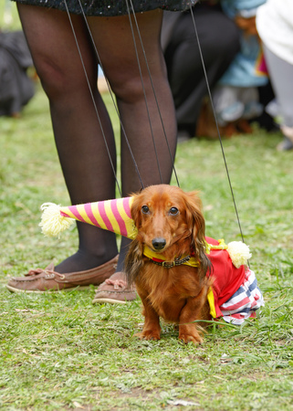 The Dachshund is a hunting dog.This breed of dog is very popular.