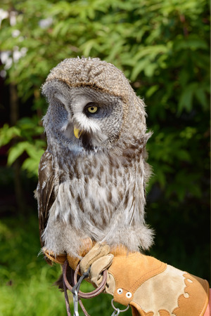 The owl sitting on the hand in the glove.It is a predatory bird.