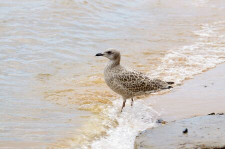 On the Lake the raging waves.Seagull walks on water. 版權商用圖片