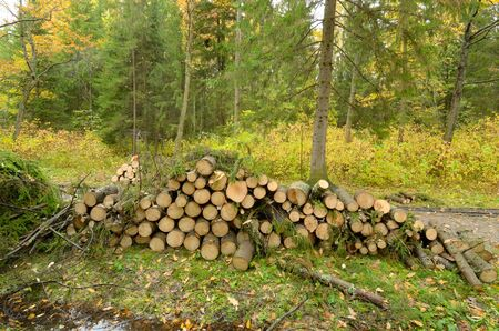 The old trees cut into logs.Branches from piled them in heaps.