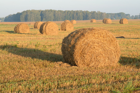 On the field, mowed wheat.In the field were rolls of hay. Stock Photo