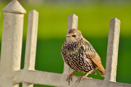 A Starling sitting on the fence.He looks to where to fly.