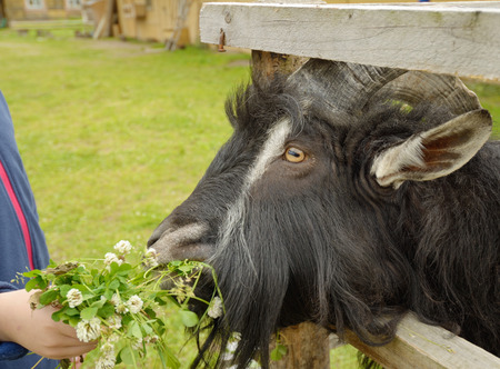 goat with big horns behind the fence of the farm.The child feeds him grass.