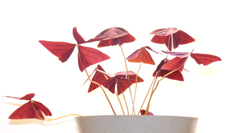 Oxalis - a well-known home and garden plant.its leaves have a sour taste.