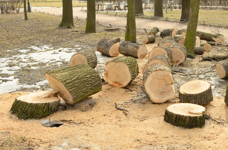 Cleaning the Park.Old trees are being cut down.They cut them into lumps. Stock Photo