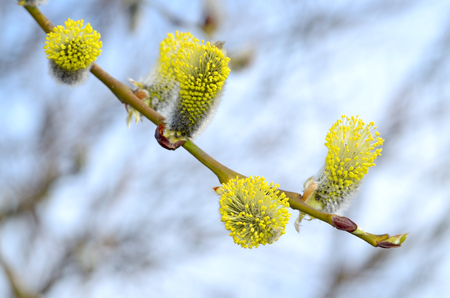 The furry buds of pussy willow.These inflorescences have a colorful look.