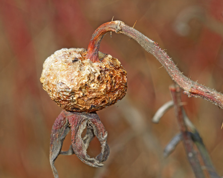 Old rose hip from last year.Old rose hip from last year.The berry is dry and has a wrinkled appearance.