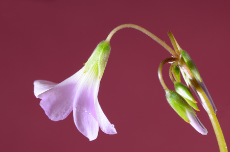 Beautiful petals of a flower.Blossomed flowers of Oxalis.