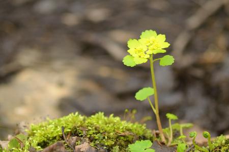 Chrysosplenium alternifolium.Grows in dark and damp places.This plant has medicinal properties. Stock Photo